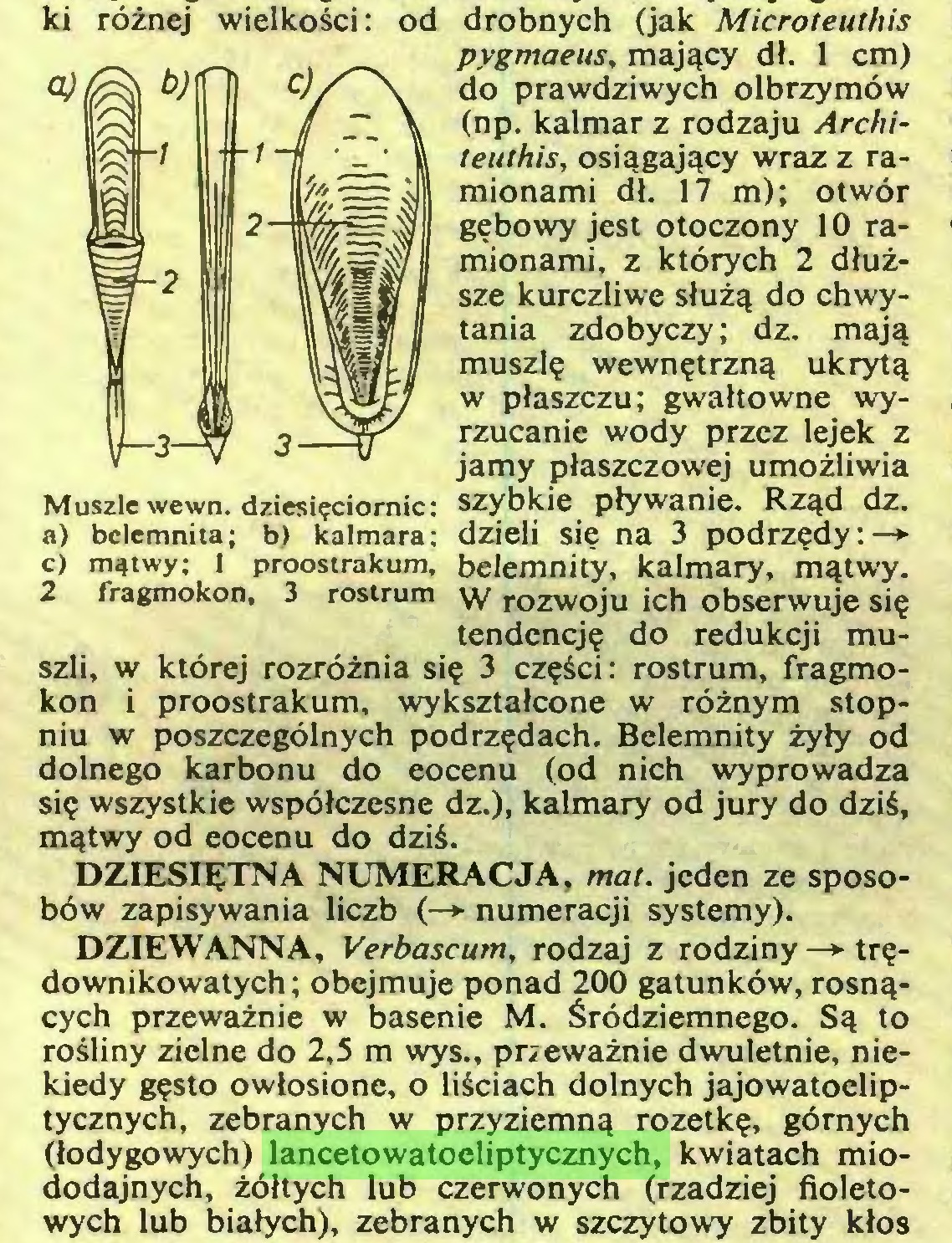 (...) DZIEWANNA, Verbascum, rodzaj z rodziny —> trędownikowatych; obejmuje ponad 200 gatunków, rosnących przeważnie w basenie M. Śródziemnego. Są to rośliny zielne do 2,5 m wys., przeważnie dwuletnie, niekiedy gęsto owłosione, o liściach dolnych jajowatoeliptycznych, zebranych w przyziemną rozetkę, górnych (łodygowych) lancetowatoeliptycznych, kwiatach miododajnych, żółtych lub czerwonych (rzadziej fioletowych lub białych), zebranych w szczytowy zbity kłos ki różnej wielkości: od...