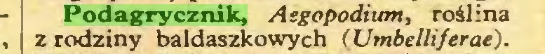 (...) Podagrycznik, Asgopodium, roślina z rodziny baldaszkowych (Umbelliferae)...
