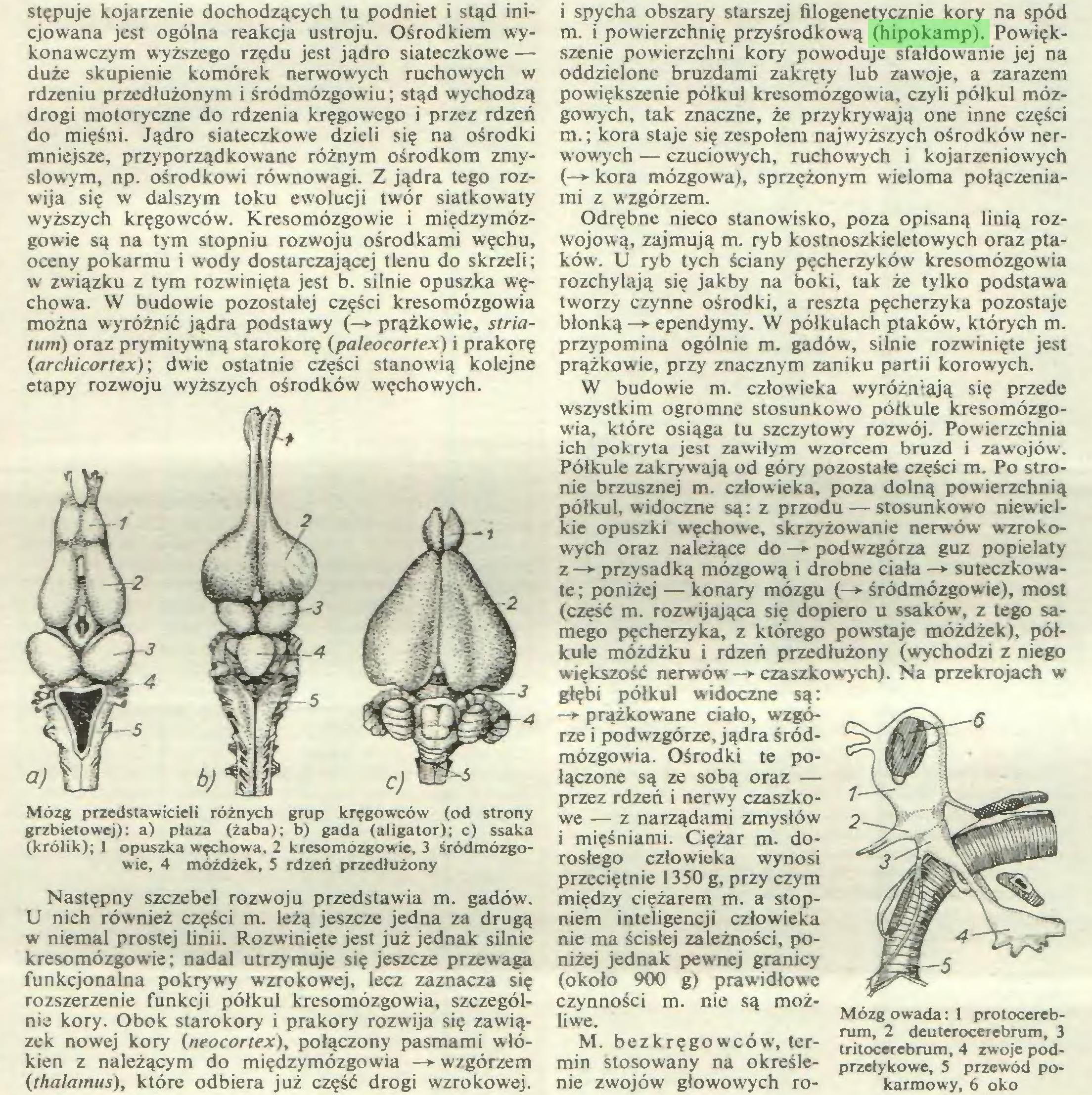 (...) nie kory. Obok starokory i prakory rozwija się zawiązek nowej kory (neocortex), połączony pasmami włókien z należącym do międzymózgowia —► wzgórzem (thalamus), które odbiera już część drogi wzrokowej. i spycha obszary starszej filogenetycznie kory na spód m. i powierzchnię przyśrodkową (hipokamp). Powiększenie powierzchni kory powoduje sfałdowanie jej na oddzielone bruzdami zakręty lub zawoje, a zarazem powiększenie półkul kresomózgowia, czyli półkul mózgowych, tak znaczne, że przykrywają one inne części m.; kora staje się zespołem najwyższych ośrodków ner...