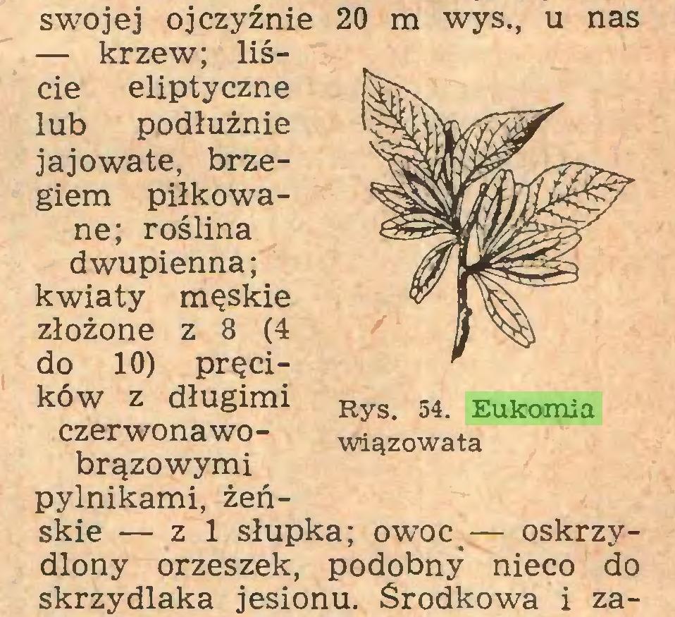 (...) swojej ojczyźnie 20 m wys., u nas — krzew; liście eliptyczne lub podłużnie jajowate, brzegiem piłkowane; roślina dwupienna; kwiaty męskie złożone z 8 (4 do 10) pręcików z długimi Rys> 54 Eukomia czerwonawo- wiązowata brązowymi pylnikami, żeńskie — z 1 słupka; owoc<— oskrzydlony orzeszek, podobny nieco do skrzydlaka jesionu. Środkowa i za...