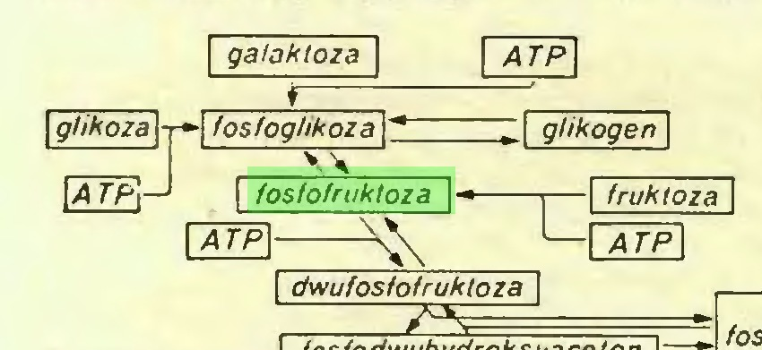 "(...)   gli koza   HZ3 galoktoza \ r ;— fosfoglikoza  ~"" 1 fosfofruktoza~ ATP\ giikogen\ U fruktoza ATP I I dwufos/o fruktoza..."