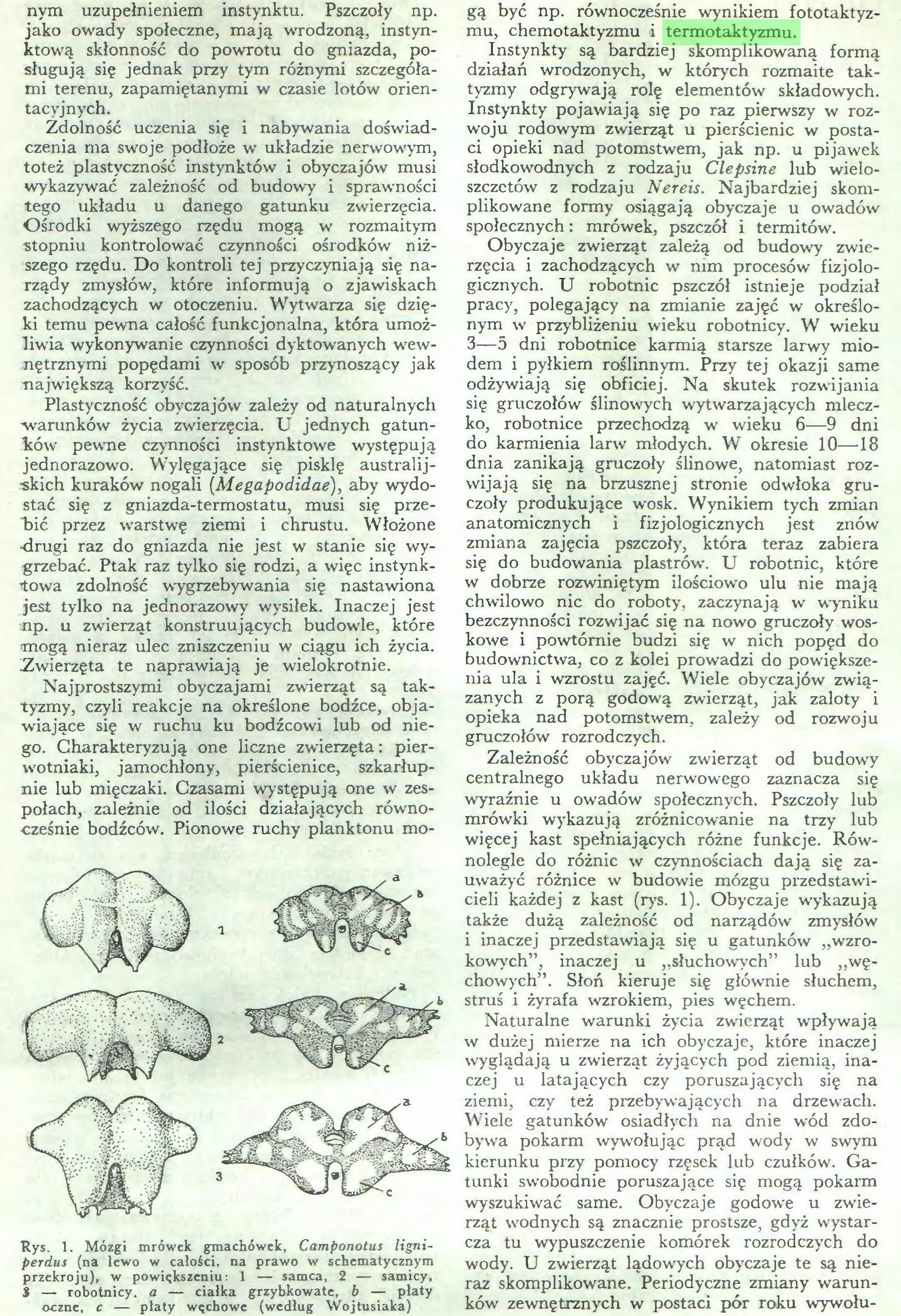 (...) Rys. 1. Mózgi mrówek gmachówek, Camponotus ligniperdus (na lewo w całości, na prawo w schematycznym przekroju), w powiększeniu: 1 — samca, 2 — samicy, 3 — robotnicy, a — ciałka grzybkowate, b — piaty oczne, c — płaty węchowe (według Wojtusiaka) gą być np. równocześnie wynikiem fototaktyzmu, chemotaktyzmu i termotaktyzmu...