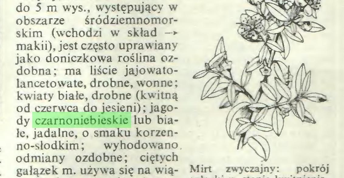 (...) do 5 m wys., występujący w obszarze śródziemnomorskim (wchodzi w skład —► makii), jest często uprawiany jako doniczkowa roślina ozdobna; ma liście jajowatolancetowate, drobne, wonne; kwiaty białe, drobne (kwitną od czerwca do jesieni); jagody czarnoniebieskie lub białe, jadalne, o smaku korzenno-słodkim; wyhodowano odmiany ozdobne; ciętych gałązek m. używa się na wią- Mirt zwyczajny: pokrój...