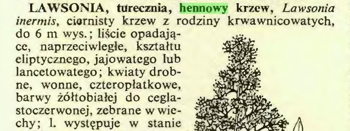 (...) LAWSONIA, turecznia, hennowy krzew, Lawsonia inermis, ciernisty krzew z rodziny krwawnicowatych, do 6 m wys.; liście opadające, naprzeciwległe, kształtu eliptycznego, jajowatego lub lancetowatego; kwiaty drobne, wonne, czteropłatkowe, barwy żółtobiałej do ceglastoczerwonej, zebrane w wiechy; 1. występuje w stanie...