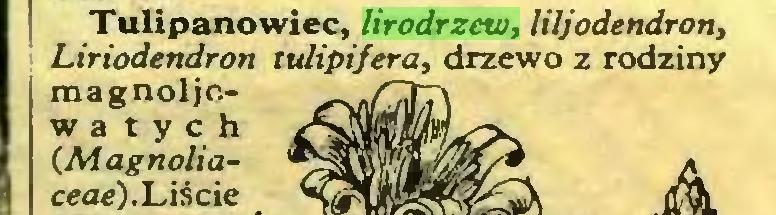 (...) Tulipanowiec, lirodrzew, liljodendron, Liriodendron tulipifera, drzewo z rodziny magnoljcw a t y c h (Magnoliaceae). Liście...
