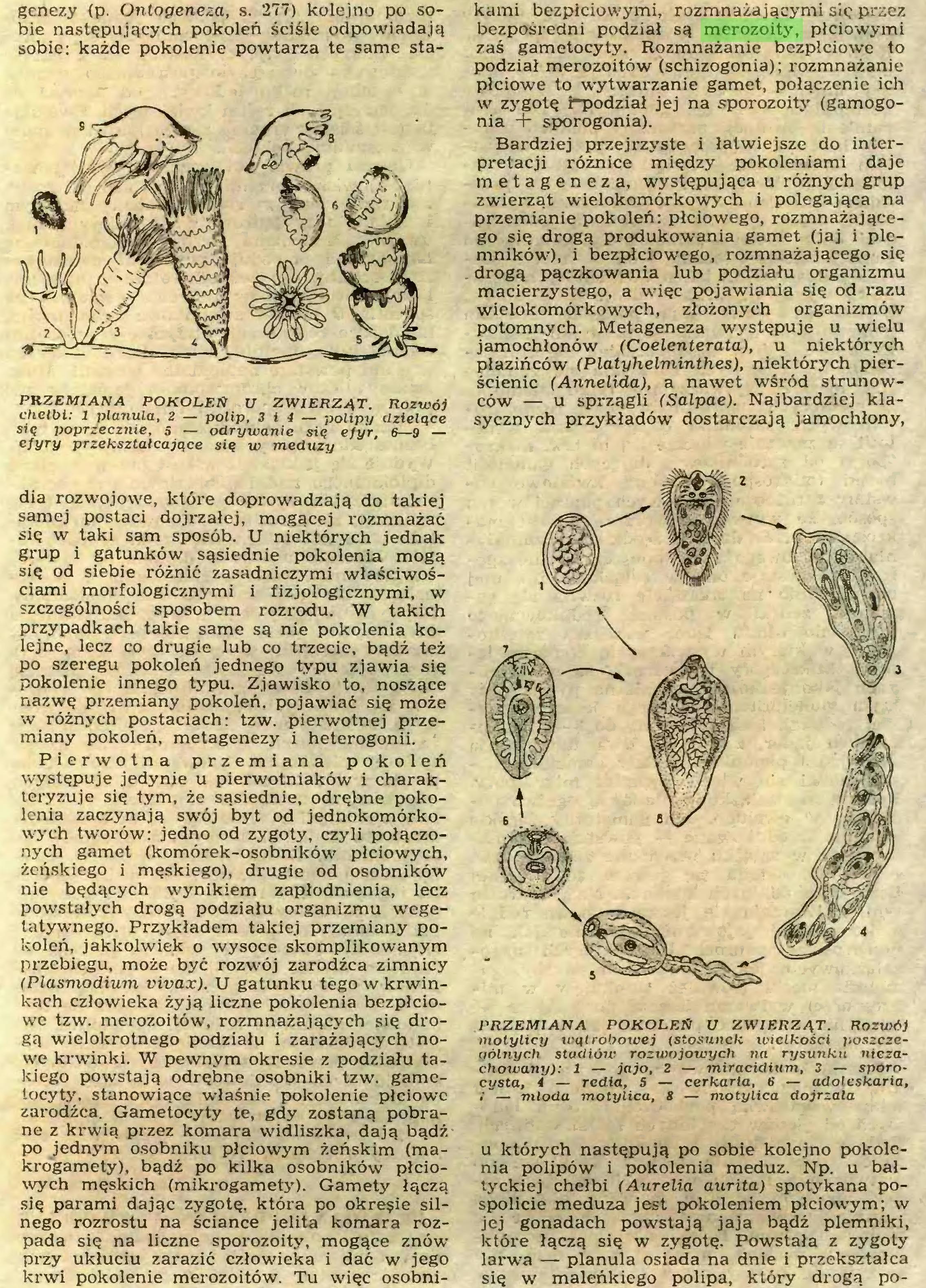 """(...) wych męskich (mikrogametj'). Gamety łączą się parami dając zygotę, która po okreęie silnego rozrostu na ściance jelita komara rozpada się na liczne sporozoity, mogące znów przy ukłuciu zarazić człowieka i dać w jego krwi pokolenie merozoitów. Tu więc osobni¬ kami bezpłciowymi, rozmnażającymi się przez bezpośredni podział są merozoity, płciowymi zaś gametocyty. Rozmnażanie bezpłciowe to podział merozoitów (schizogonia); rozmnażanie płciowe to wytwarzanie gamet, połączenie ich w zygotę i""""podział jej na sporozoity (gamogonia + sporogonia)..."""
