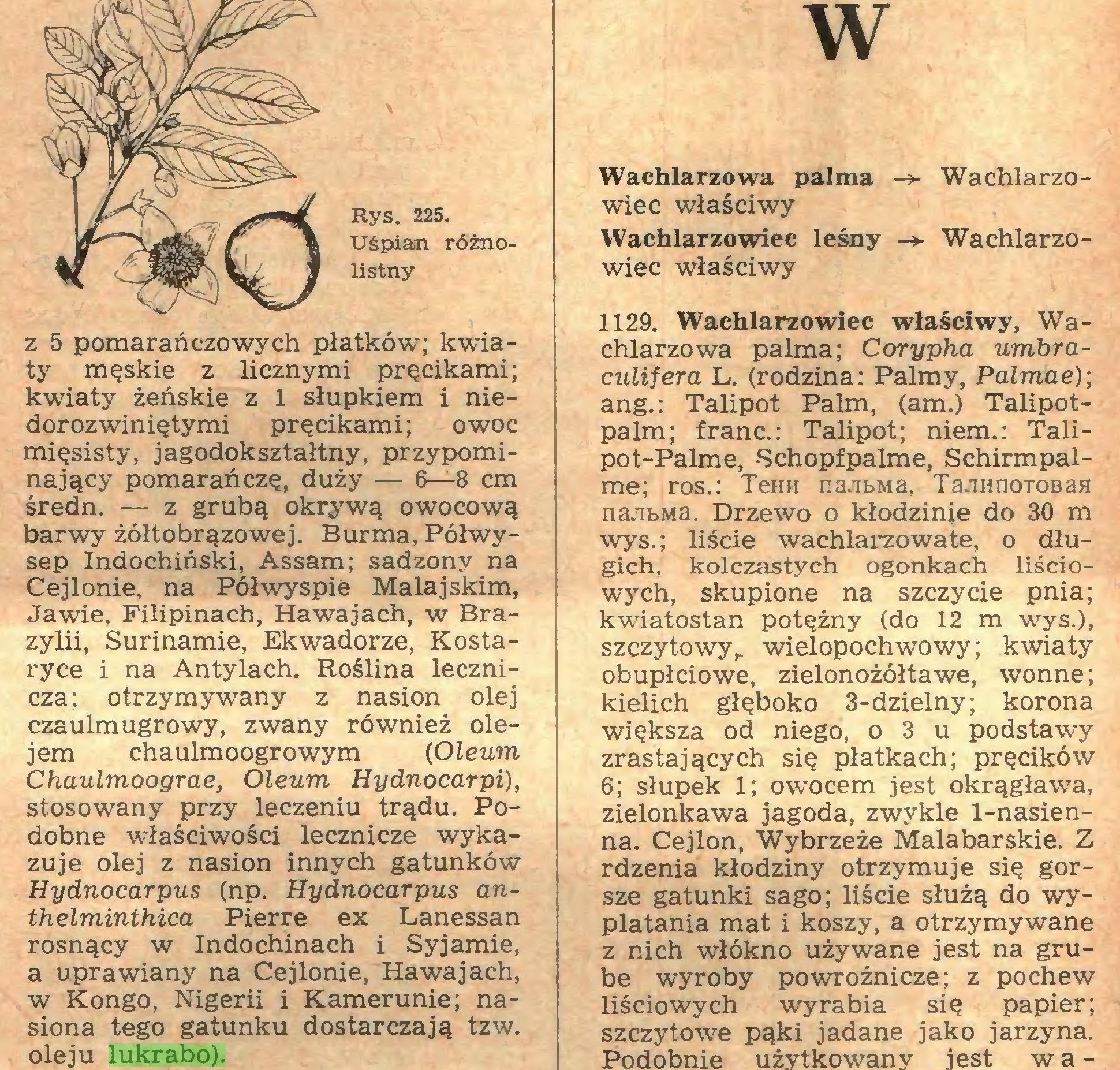 (...) oleju lukrabo). W Wachlarzowa palma -> Wachlarzowiec właściwy Wachlarzowiec leśny -► Wachlarzowiec właściwy 1129. Wachlarzowiec właściwy, Wa...