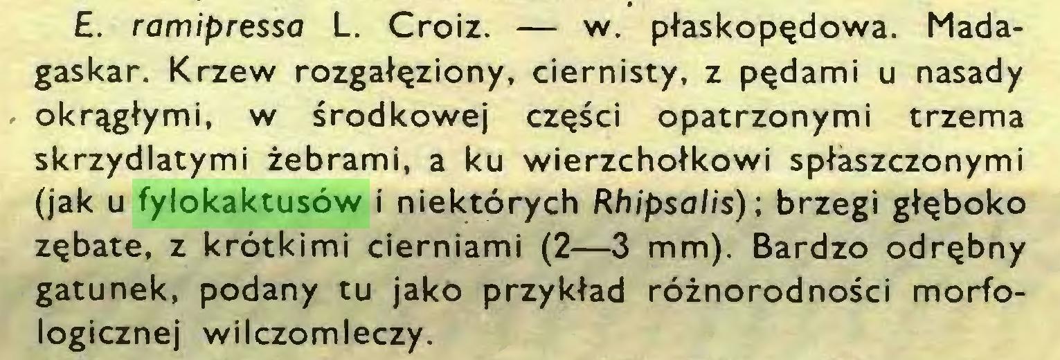 (...) £. ramipressa L. Croiz. — w. płaskopędowa. Madagaskar. Krzew rozgałęziony, ciernisty, z pędami u nasady okrągłymi, w środkowej części opatrzonymi trzema skrzydlatymi żebrami, a ku wierzchołkowi spłaszczonymi (jak u fylokaktusów i niektórych Rhipsalis) ; brzegi głęboko zębate, z krótkimi cierniami (2—3 mm). Bardzo odrębny gatunek, podany tu jako przykład różnorodności morfologicznej wilczomleczy...