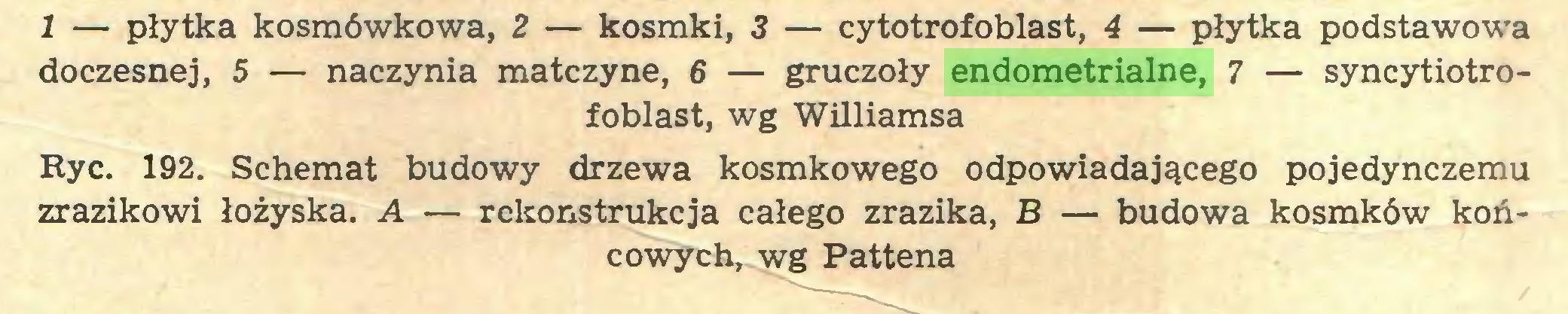 (...) 1 — płytka kosmówkowa, 2 — kosmki, 3 — cytotrofoblast, 4 — płytka podstawowa doczesnej, 5 — naczynia matczyne, 6 — gruczoły endometrialne, 7 — syncytiotrofoblast, wg Williamsa Ryc. 192. Schemat budowy drzewa kosmkowego odpowiadającego pojedynczemu zrazikowi łożyska. A — rekonstrukcja całego zrazika, B — budowa kosmków końcowych^ wg Pattena...