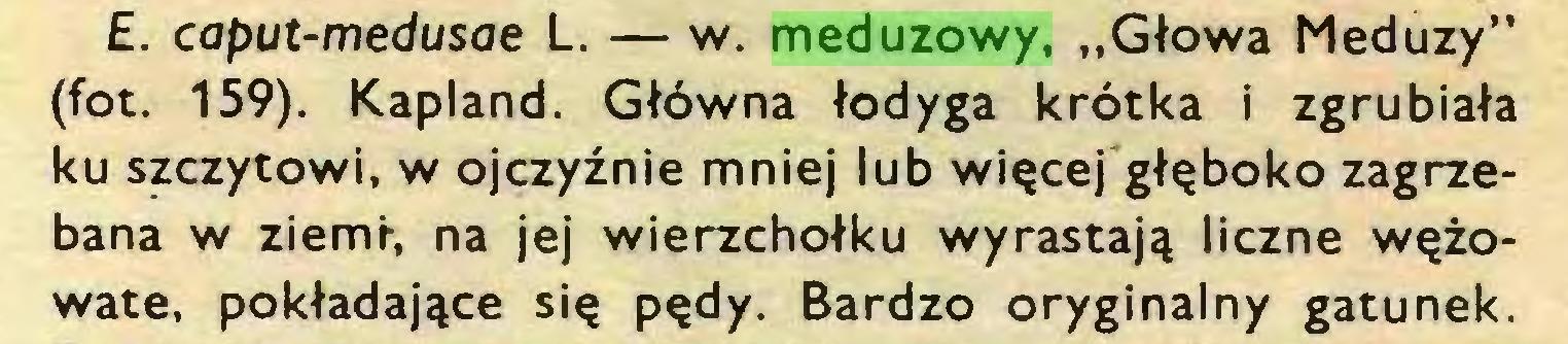 """(...) £. caput-medusae L. — w. meduzowy, """"Głowa Meduzy"""" (fot. 159). Kapland. Główna łodyga krótka i zgrubiała ku szczytowi, w ojczyźnie mniej lub więcej głęboko zagrzebana w ziemi-, na jej wierzchołku wyrastają liczne wężowate, pokładające się pędy. Bardzo oryginalny gatunek..."""