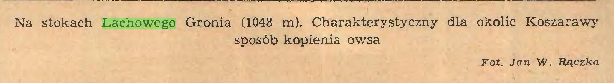 (...) Na stokach Lachowego Gronia (1048 m). Charakterystyczny dla okolic Koszarawy sposób kopienia owsa Fot. Jan W. Rączka...